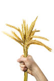 Hands holding bundle of the golden wheat ears. Human hands holding bundle of the golden wheat ears Royalty Free Stock Images