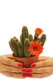 Hands holding a cactus Royalty Free Stock Images