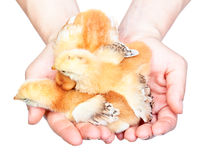 Hands holding chicks Stock Image