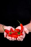 Hands holding chilli peppers Stock Photography