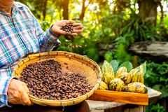 Hands holding Cocoa Beans, Aromatic cocoa beans as background, Cocoa Beans and Cocoa Fruits on wooden royalty free stock photos