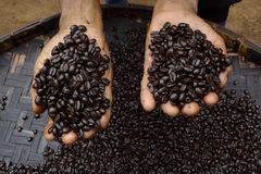 Hands holding coffee beans Royalty Free Stock Image