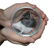 Hands holding cup with three mice. Woman's hands holding cup with three mice, isolated Royalty Free Stock Photos