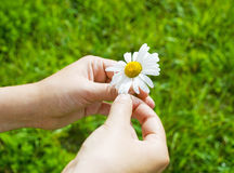 Hands holding daisy. In the field Stock Photos