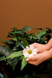 Hands holding daisy Royalty Free Stock Images