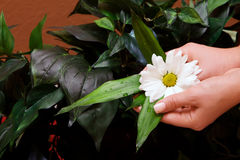 Hands holding daisy Royalty Free Stock Photo