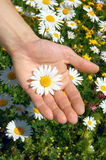 Hands holding a daisy. In front of of a greenfield Stock Photos