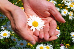 Hands holding a daisy Royalty Free Stock Photos