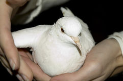 Hands holding dove. Hands holding a white pigeon with care Royalty Free Stock Images