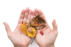 Hands holding dried leaves Royalty Free Stock Photography