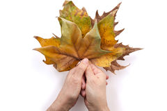 Hands holding dried leaves Royalty Free Stock Photos