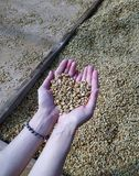 Hands holding dried raw coffee beans. At farm royalty free stock images