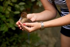 Hands holding a duckling Royalty Free Stock Image