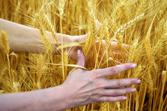 Hands holding ears of ripe wheat Stock Photography