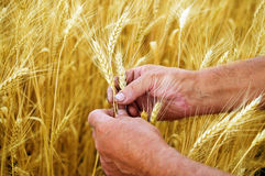 Hands holding ears of ripe wheat Stock Image