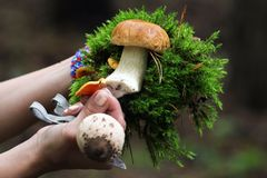 Hands holding edible mushrooms, knife and tuft of green moss.  Stock Photo
