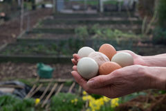 Hands holding eggs in allotment Stock Images