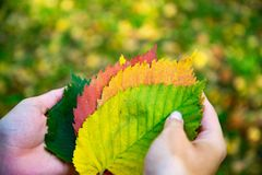 Hands holding fallen autumn leaves. Autumn background, colors of Fall