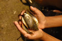 Hands holding fish. Male hands holding several small fish stock photography