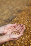 Hands holding flax Royalty Free Stock Image
