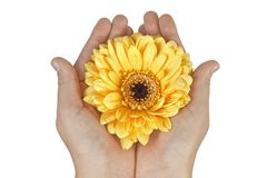 Hands holding flower Royalty Free Stock Photography