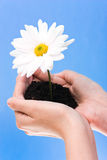 Hands holding flower Royalty Free Stock Photos