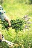 Hands holding fresh herbs Royalty Free Stock Photos