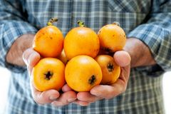 Hands holding fresh loquats Stock Photos