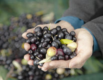 Hands holding fresh olives Stock Images