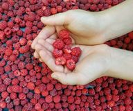 Hands Holding Fresh Picked Raspberries royalty free stock image