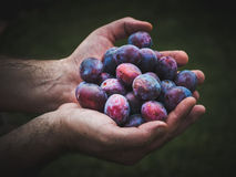 Hands holding fresh plums Stock Images