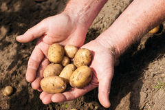 Hands holding fresh potatoes Stock Photography