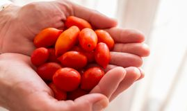 Hands holding fresh Red Grape Cherry Tomatoes.  Royalty Free Stock Photo