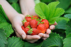 Hands holding fresh strawberries Stock Image