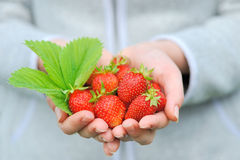 Hands holding fresh strawberries Royalty Free Stock Photos