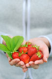 Hands holding fresh strawberries Royalty Free Stock Images
