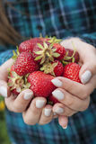 Hands holding fresh strawberries Stock Photography