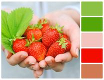 Hands holding fresh strawberries with palette color swatches Stock Photography