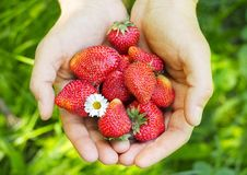 Hands holding fresh strawberries Stock Photo