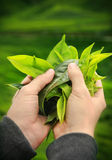 Hands holding fresh tea leaves Royalty Free Stock Photography
