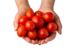 Hands holding fresh tomatoes against white background Royalty Free Stock Image