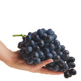 Hands holding freshly picked grapes Stock Image