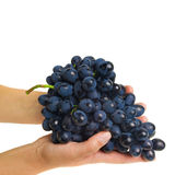 Hands holding freshly picked grapes Royalty Free Stock Image