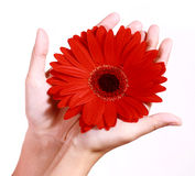 Hands holding a gerbera daisy Royalty Free Stock Image