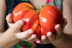 Hands holding a giant Zapotec pleated heirloom tomato. Hands holding and offering a giant Zapotec pleated heirloom tomato Royalty Free Stock Photos