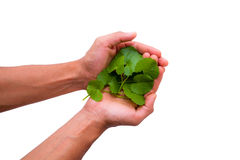 Hands holding gotukola leaves Stock Photos
