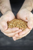Hands holding grain Royalty Free Stock Photos