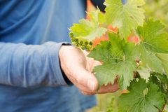 Hands holding grape leaf Royalty Free Stock Photography