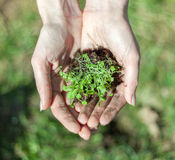 Hands holding grass. On a field Royalty Free Stock Photography