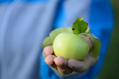 Hands holding green apples Stock Photography